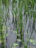 Lotus pond overrun by wild grass.