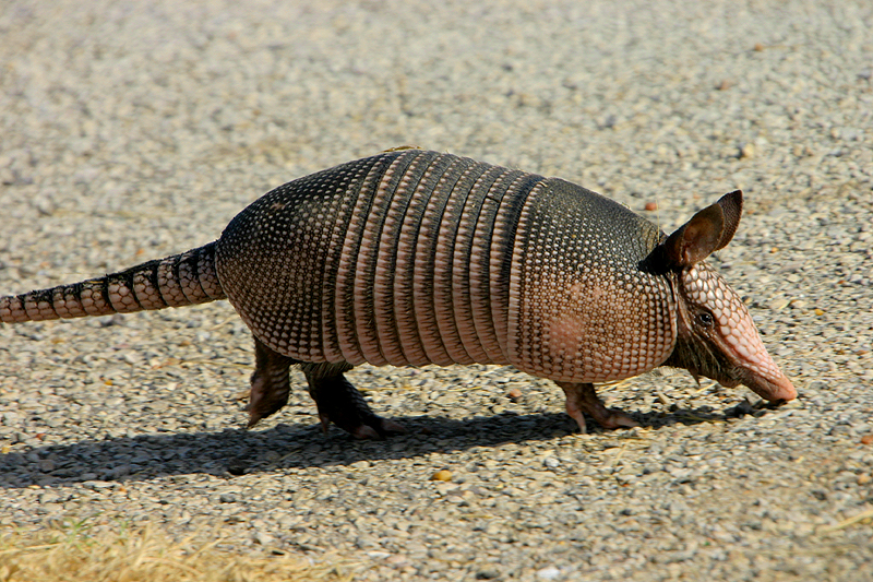Armadillo going places