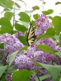 Yellow Swallowtail on the lilac