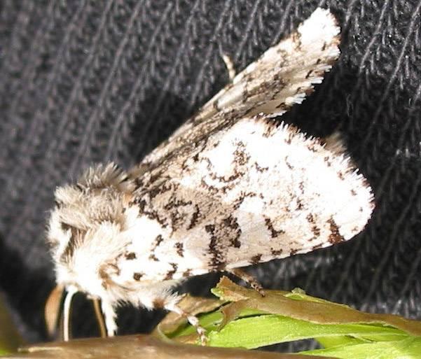 Feralia jocosa moth