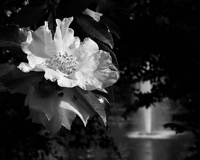 1215 BW, Flower & Fountain