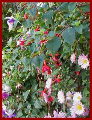 Hanging baskets of fuchsias