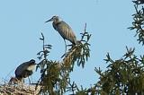 caring heron parents