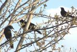 3 brewers blackbirds