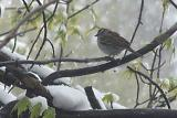 sparrow in an icey tree