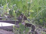 male sparrow feeding mate