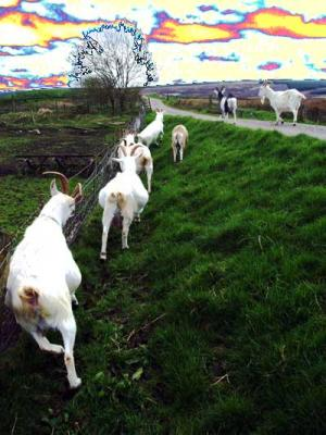 Goats on drugs