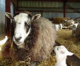 Gotland and lamb