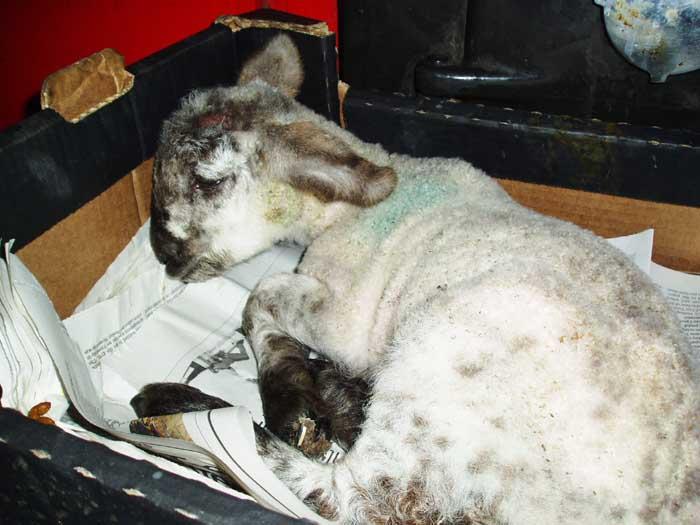 Unwell lamb