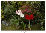 Amaryllis's blossoming