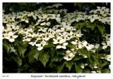 Dogwood at Brookside Gardens in Maryland