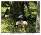 Munching Panda at the National Zoo