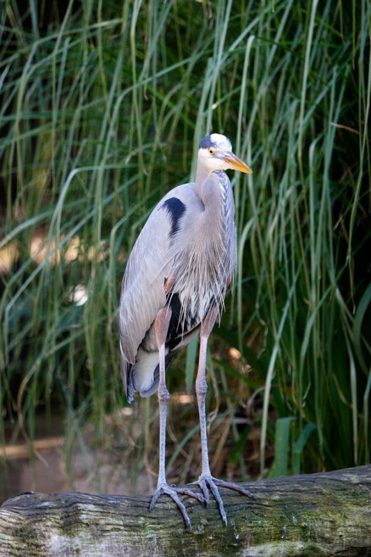 Blue-Heron-SD-Zoo-12-25-04.jpg