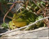 Bullfrog 4857.jpg