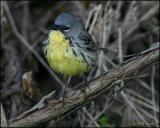 Kirtland's Warbler 4936.jpg