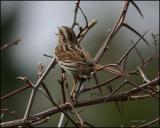 Song Sparrow 4434.jpg