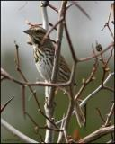 Song Sparrow 4438.jpg