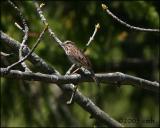 Song Sparrow 5149.jpg