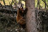 Cinnamon cub