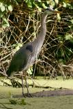 May 20, 2005Great Blue Heron Day 2