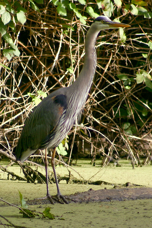 May 20, 2005<br>Great Blue Heron Day 2