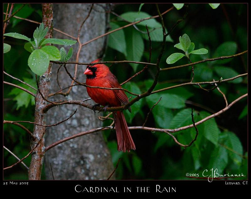 25May05 Cardnial in the Rain