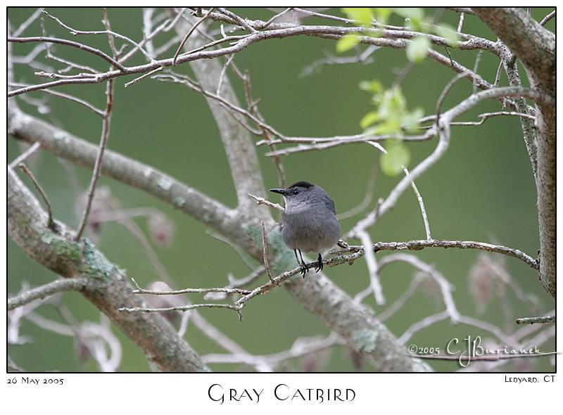 26May05 Gray Catbird