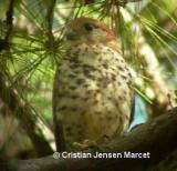 Mauritius Kestrel (Falco punctatus)
