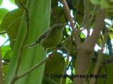 Rodrigues Warbler (Acrocephalus rodericanus)