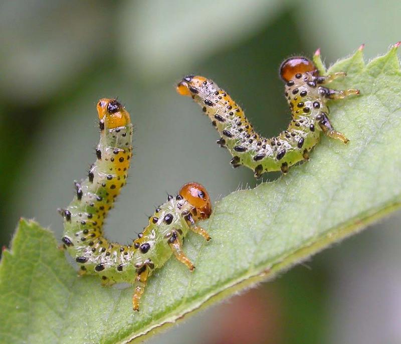 Arge ochropa (Gmelin) (Argidae) larvae -- a species of Sawfly -- on rose leaf