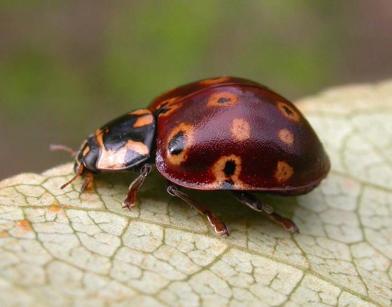 Eye-spotted lady beetle -- <i>Anatis mali</i>
