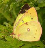 Clouded Sulphur butterfly -- Colias philodice --female