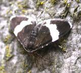 Trichodezia albovittata - 7430 - White-striped Black