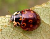 Eye-spotted lady beetle  --  Anatis mali