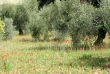 Olive grove and poppies