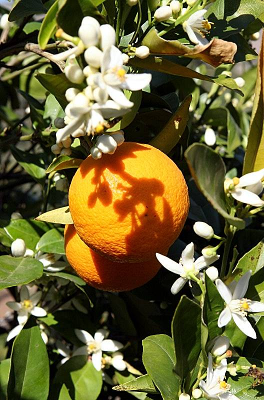 Orange tree at Terra Firma