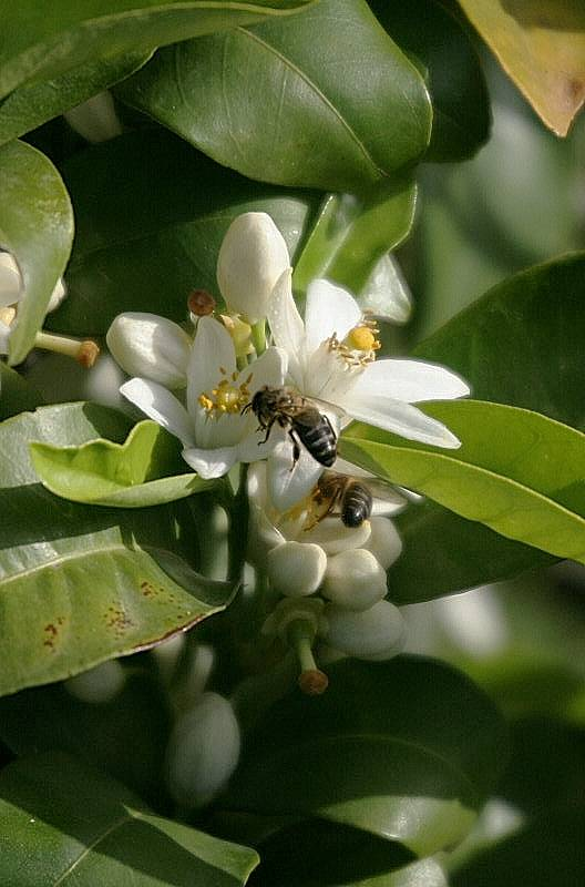 Orange blossom with bees