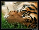 Texas Tigers