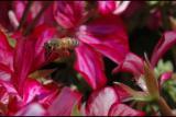 050405 Bee in flight.jpg