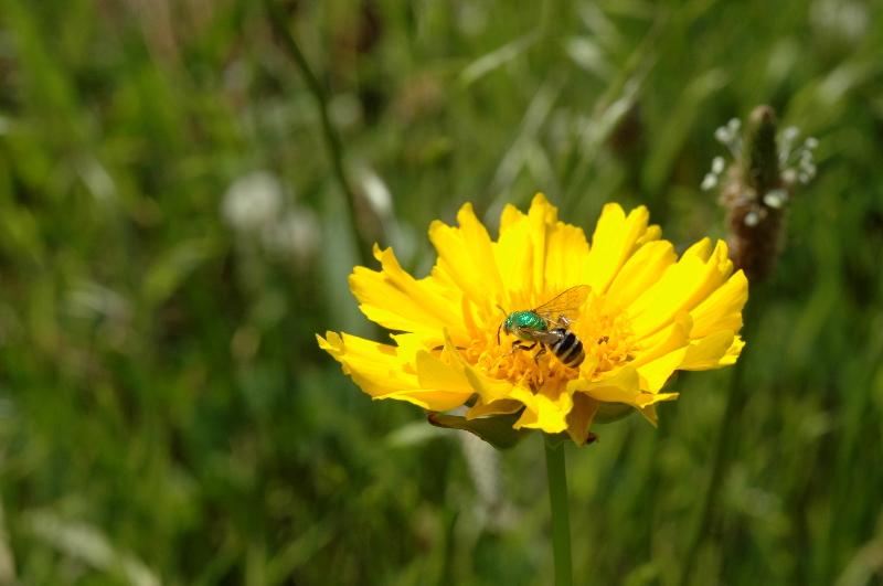 Iridescent bee .jpg