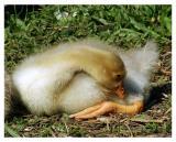 5/30: Yogamaster Gosling