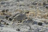 Double-banded Sandgrouse
