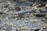 Green-spotted Dove