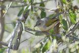 Grey-backed Bleating Warbler
