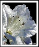 ds20050509_0018b1wF White Azalea.jpg