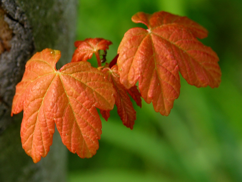 Young red leaves