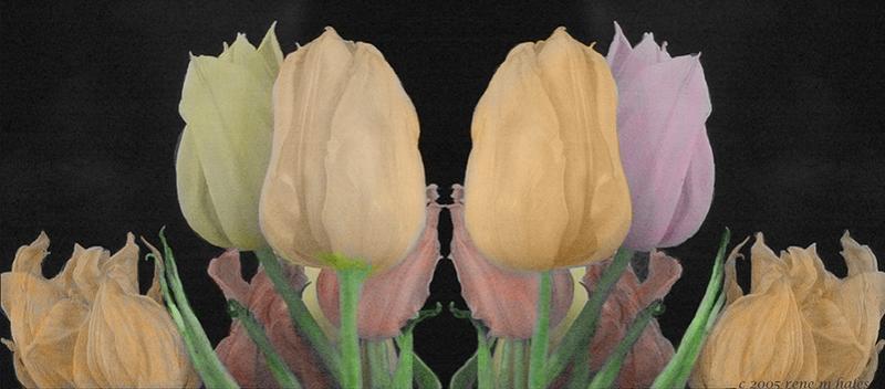 : tulip line :