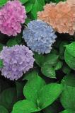 : b&w hydrangea colorized :