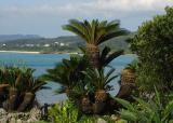 Palm in Yomitan
