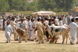 Ox at Vasakhi